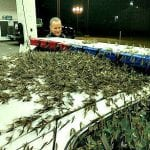 Mayfly Swarm Causes Traffic Nightmares on Illinois Bridge