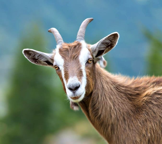 A nanny state? Vermont town elects goat mayor