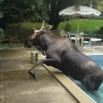 Moose gets loose after getting stuck in a pool – see the video!